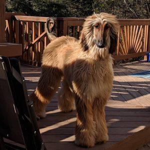 cho-afghan-hound