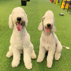 cho-bedlington-terrier-long-dep