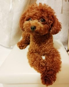 cho-toy-poodle-dep