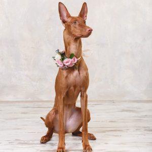 cho-pharaoh-hound