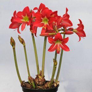 hoa-Amaryllis