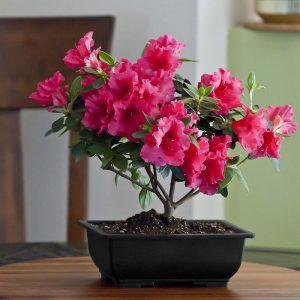 hoa-Azalea