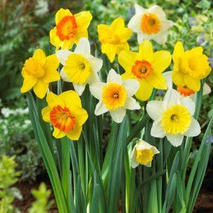 hoa-Daffodil