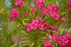 hoa-Oleander