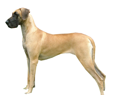 Chó Great Dane