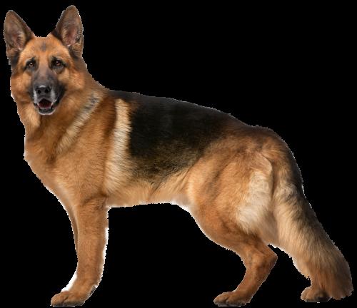 Chó Becgie (GSD - German Shepherd)