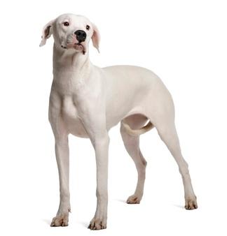 Chó Argentina Dogo