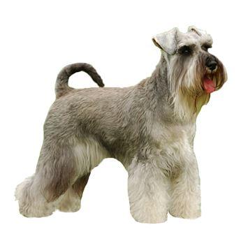 Chó Schnauzer Giant