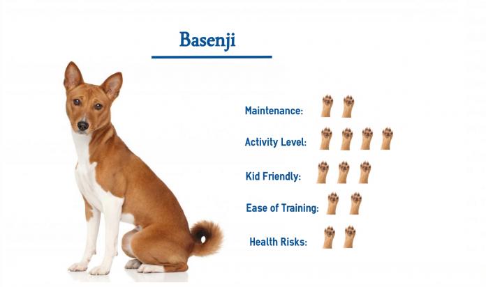 Chó Basenji