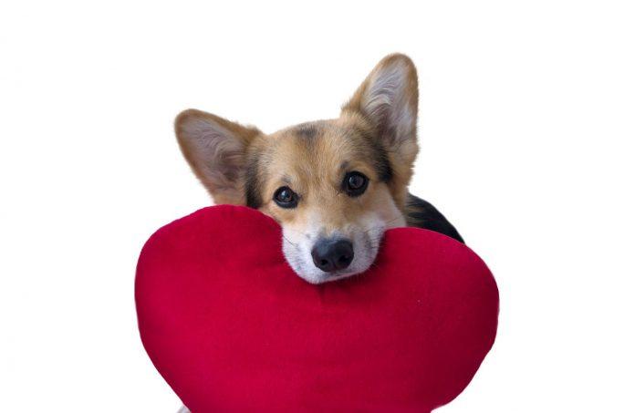 Bệnh tim phồng ở chó