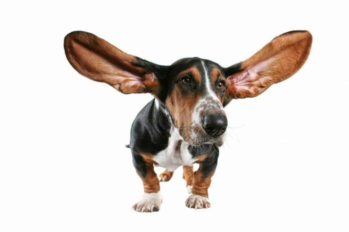 Bệnh về tai của chó