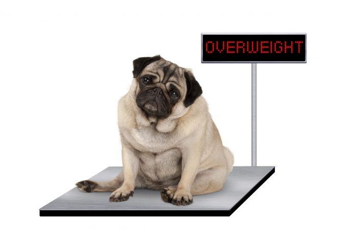 Bệnh béo phì ở chó