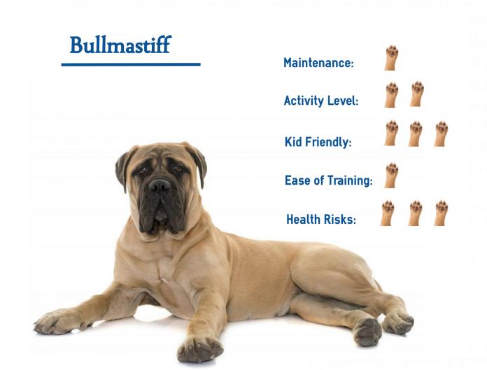 Chó Bullmastiff