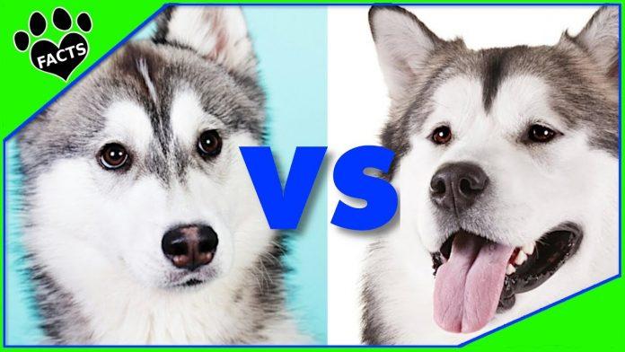 Alaska vs Husky