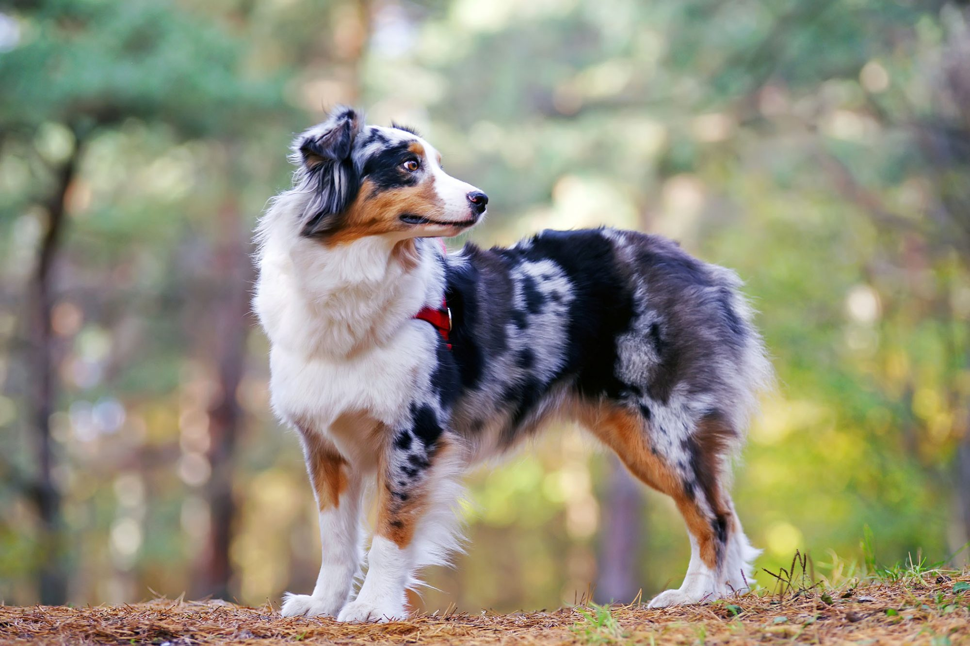 chó Australian Shepherd