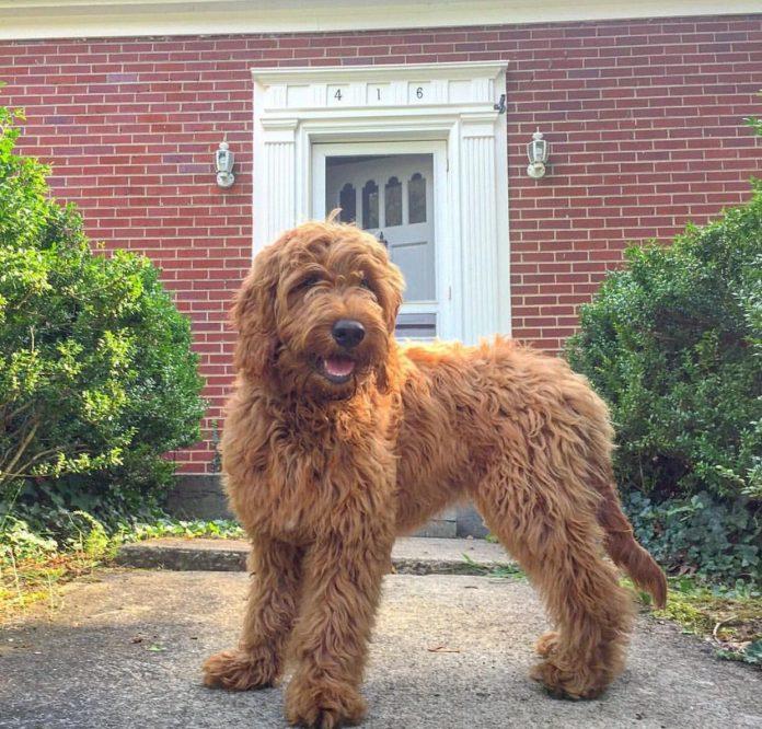 Chó Goldendoodle là kết quả của Golden Retriever và Poodle