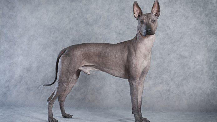 Chó không lông Xolo
