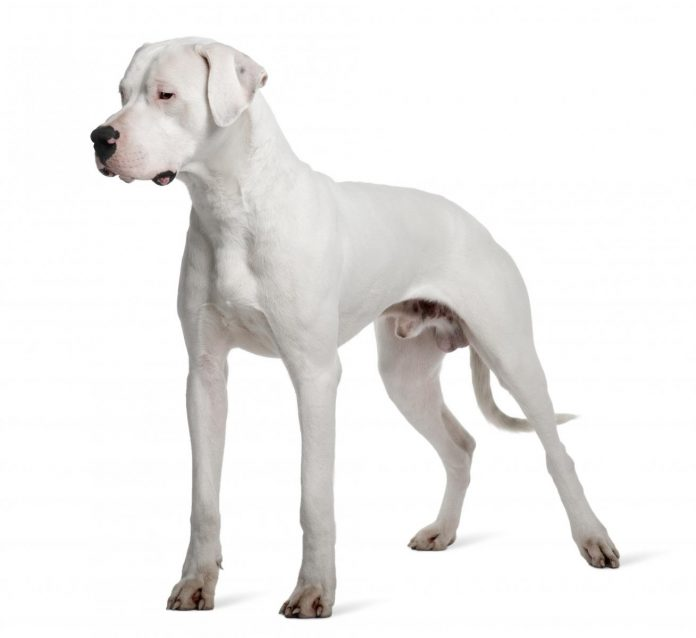 chó Dogo Argentino