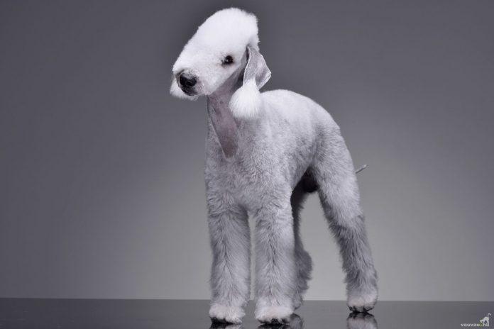 cho-bedlington-terrier